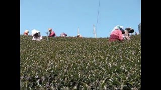 Tea Pickers at Alisha