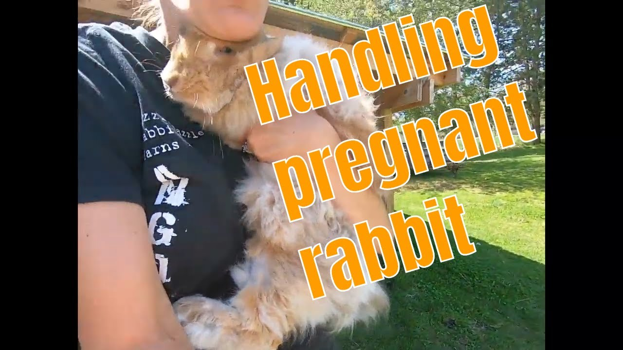How to handle a pregnant rabbit.