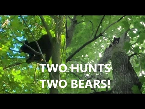 BEAR HUNTING WITH HOUNDS - TWO BEARS TREED