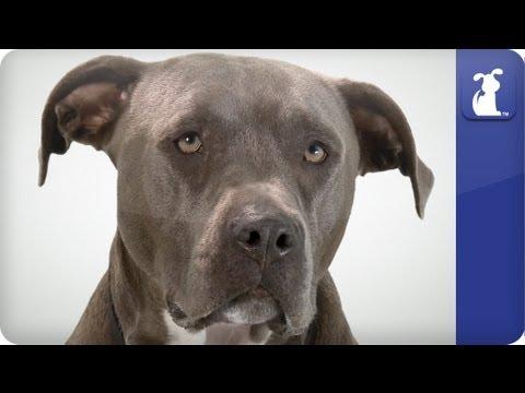 Doglopedia - Pitbull