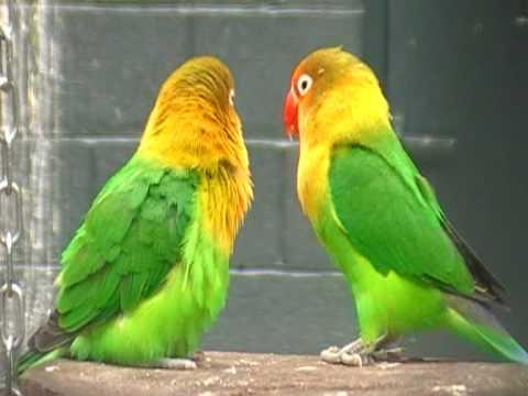 fischer s lovebird display