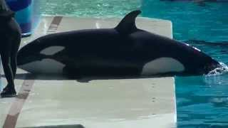 Makani keeps trainer company 1 of 3 - Nov 20 2014 - SeaWorld San Diego