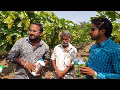 NETSURF Grapes Result in Karnataka Dist-Bagalkot pure organic farming...