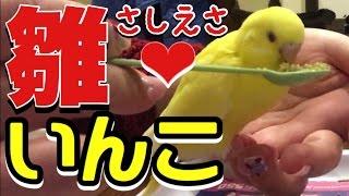 我が家のニューフェイス黄色いセキセイインコ雛の挿し餌の様子です♪ 雛...