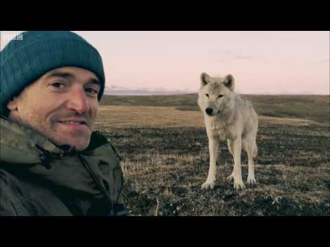 Living Among Wolves  Snow Wolf Family And Me  BBC