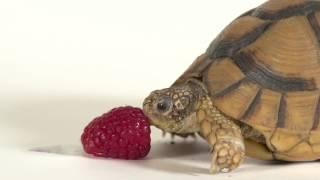 Tortoise vs. Fruit, Part II
