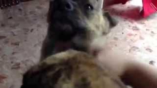 琉球犬みたいなミックス犬ミーミーキーキーぶっさいく。 激しくなでなで...