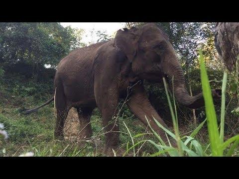 Return of the Elephants: Saving China's Elephants