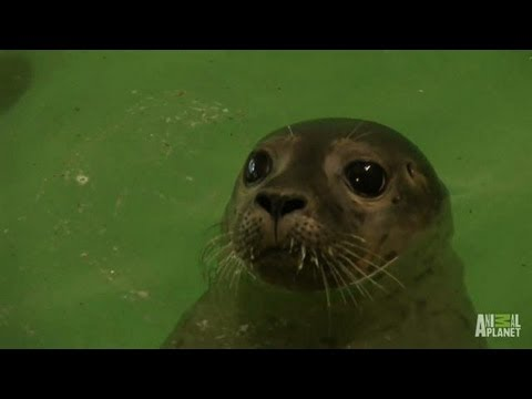 Rescued Seals Go Home | North Woods Law