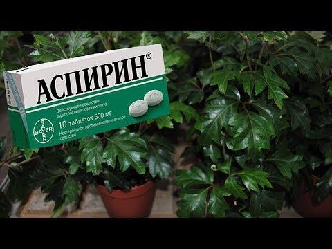 """АСПИРИН способен """"реанимировать"""" комнатные растения. Применение Аспирина в цветоводстве."""