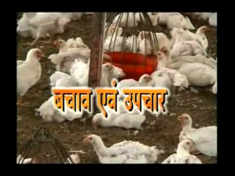 Tips to prevent diseases in chicken