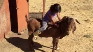 Girl Riding a 350 pound Buck Goat-part2