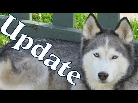 shiloh-and-shelby-have-good-news!-siberian-husky
