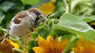 Spatz in der Sonnenblume - Sparrow in the Sunflower