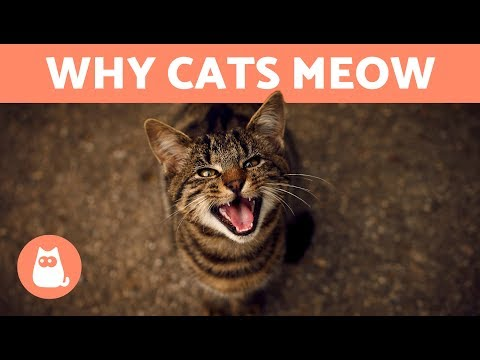 Why does my CAT MEOW When They See Me? - 7 REASONS