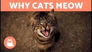 Why does my CAT MEOW When They See Me?  7 REASONS