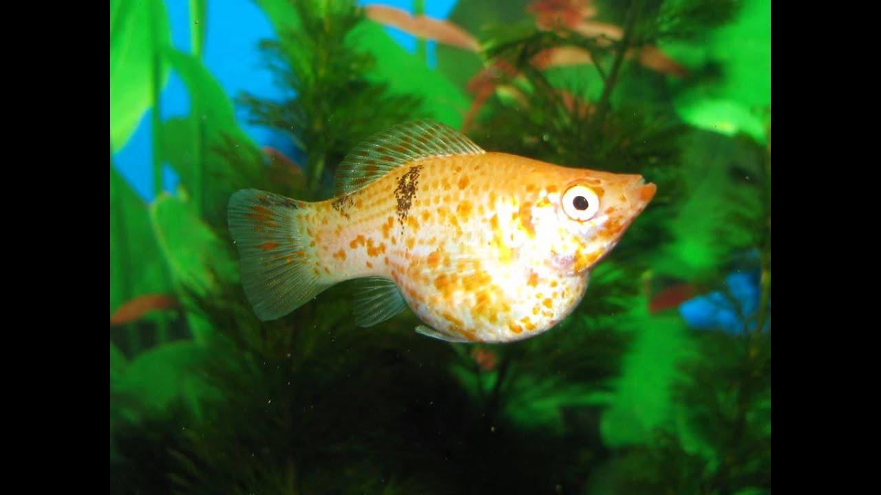 Molly Fish Types  Molly Fish Species  Molly Fish Info