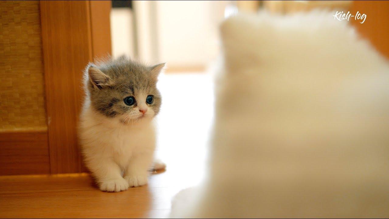 [vlog] #먼치킨 #새끼고양이와 #포메라니안 강아지 같이 키우기 - 합사 첫날부터 친해지기까지