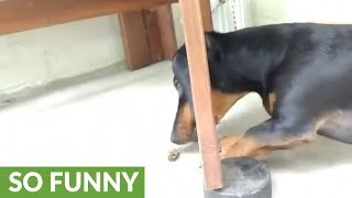 Dachshund freaks out over pesky insect