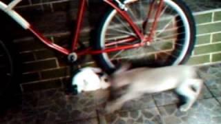 Meu Cãozinho Weimaraner Sansão  E Seu Mini Amiguinho Coelho  Fuzzy Lop Elvis - Pega-pega.