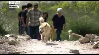 Ханаанская собака. Canaan dog