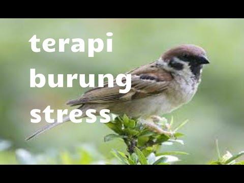 Suara Terapi Burung Stress [Suara Burung Dialam Liar]