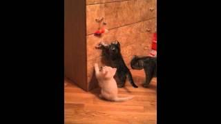 Копия видео Шотландские котята с замурчательным характером