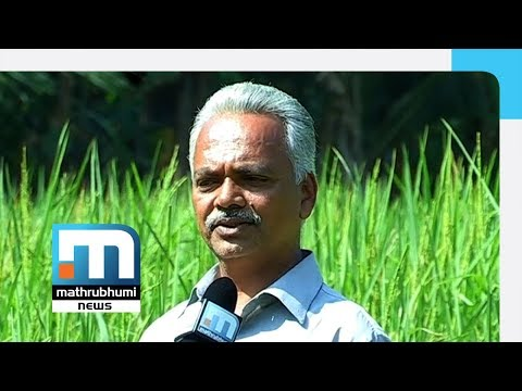 Ramanujan Scripts A Success Story In Njavara Rice Farming| Mathrubhumi News