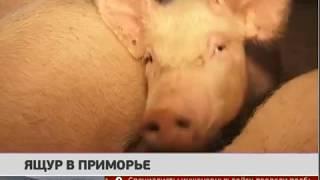 Ящур в Приморье. Новости 21012019 GuberniaTV