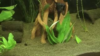 Запуск аквариума для Золотых , пересадка растений в аквариум для скалярий и еще много интересного
