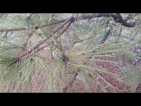 Ponderosa Pine / Pinus ponderosa