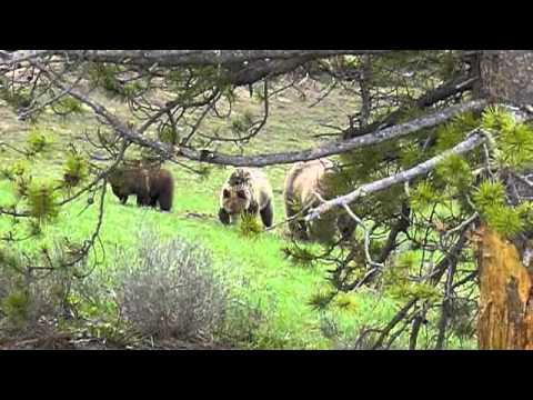Yellowstone Again- Hungry Grizzly Mom.m4v