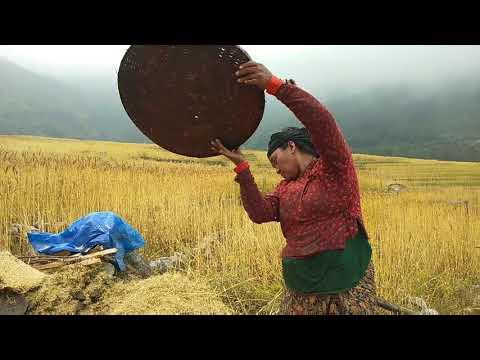 #BhujungAgriculture #Wheat