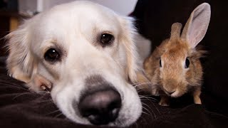 Rabbit Won't Let Dog Relax Alone, Because He Wants to Relax Together