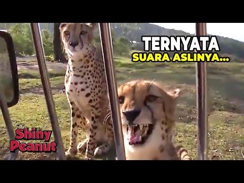 Beginilah Suara Cheetah yang Sebenarnya! Bukannya Mengaum Malah...