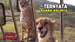 beginilah suara cheetah yang sebenarnya bukannya mengaum malah