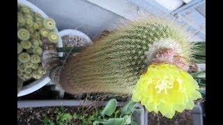 【サボテンの花・金晃丸】「40年間今も咲きます40years bloom」2010令和元年6月28日