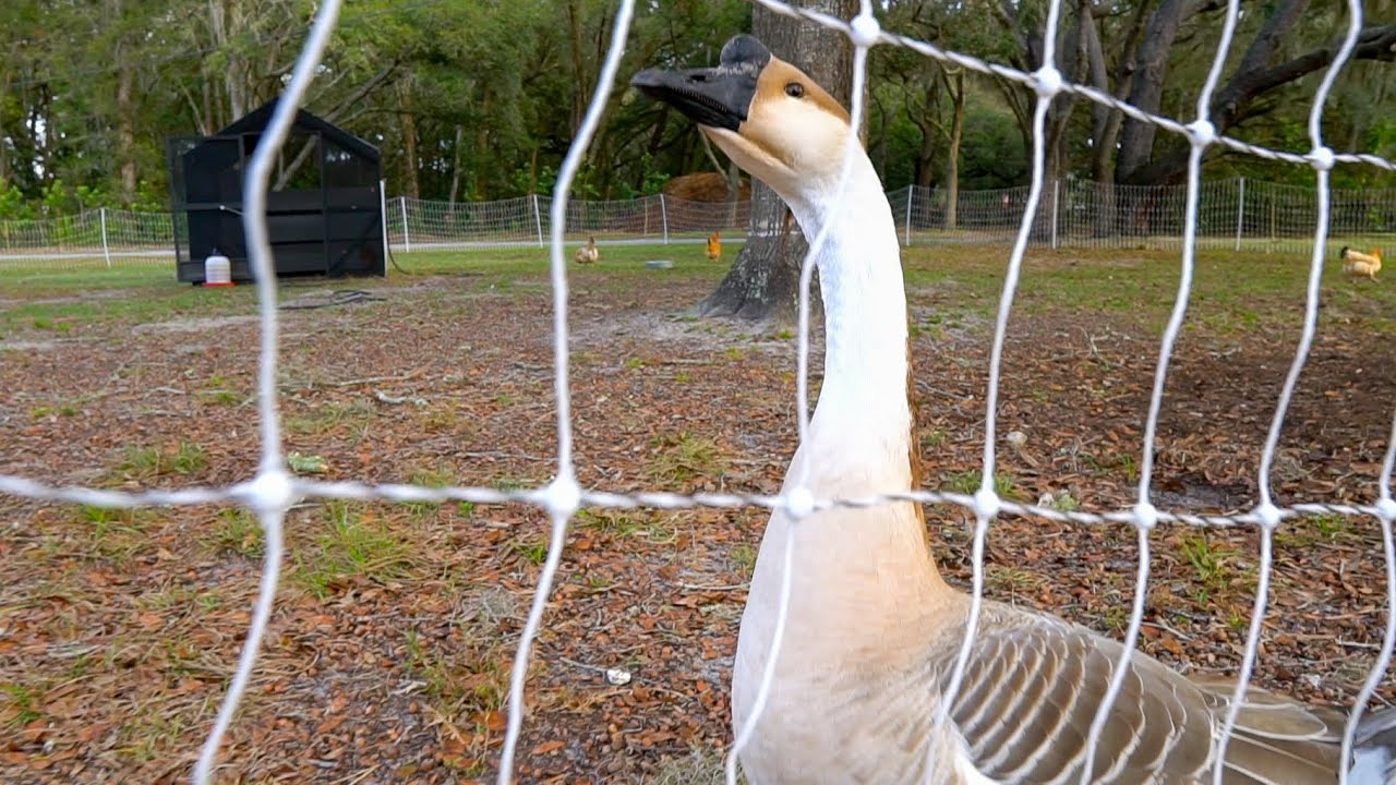Gordon, The MEAN GUARD-GOOSE! Late Winter Chicken System Update + Surprises!