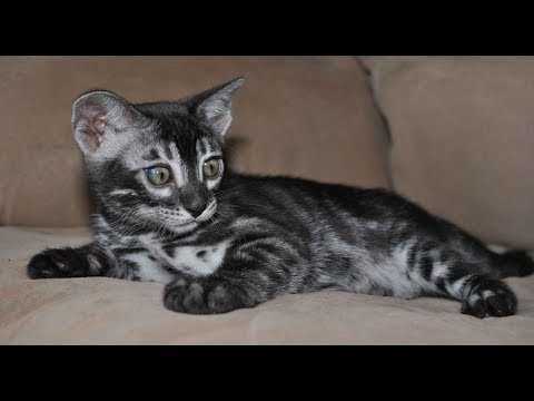 Silver Charcoal Bengal