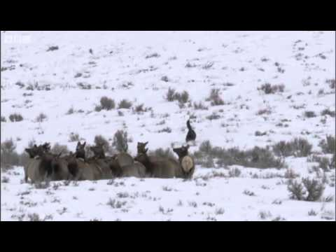 Wolves hunting elk - Yellowstone - BBC