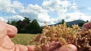 Culture du millet à la Ferme pilote de Mapraz - AGRIDEA