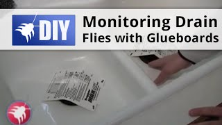 Monitoring Drain Flies with Glueboards