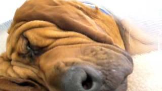 Snoring Bloodhound