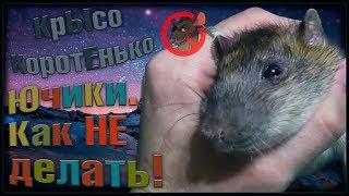 Пасюк Ючики - противная крыса, или не делайте так! (Wild Rats | Дикие Крысы)