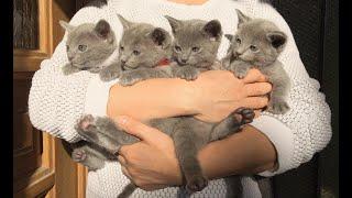 Frohe Ostern mit Izzy's Kiттen - niedĮiche Ruṡṡiṡch BĮau Kitten|Mèo c๐n lần đầu rą vườn