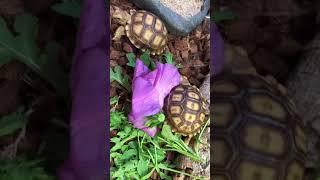 Centrochelys sulcata (Tortue sillonnée) vidéo
