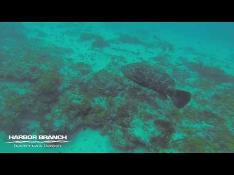 FAU Harbor Branch students combine dive training with goliath grouper count
