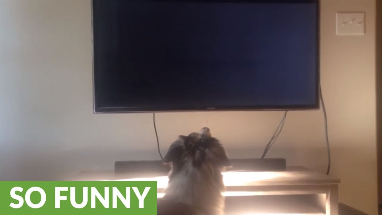Dog fetches bed in order to comfortably watch TV