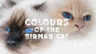 Colors of birman cats
