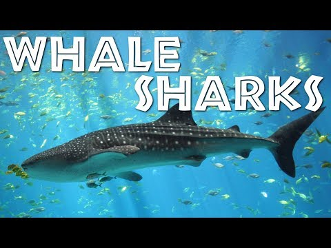 All About Whale Sharks for Children: Whale Shark video for Kids - FreeSchool